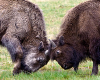 Bison play